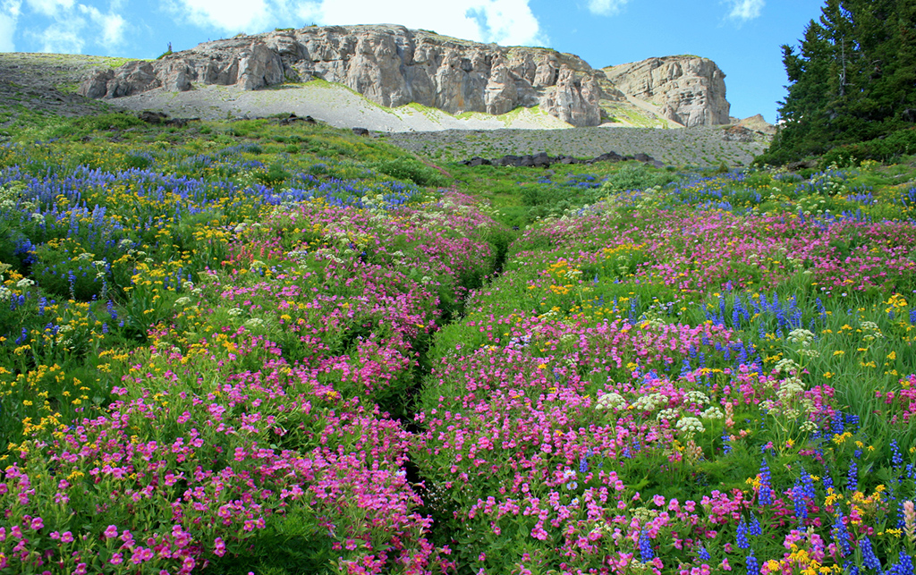 Teton Crest flowers